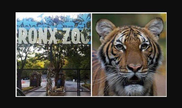 Tiger at NYC's Bronx Zoo tests positive for coronavirus